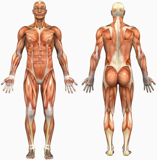 human-body-graphic